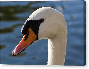 The Watchful Swan Canvas Print by David Pyatt
