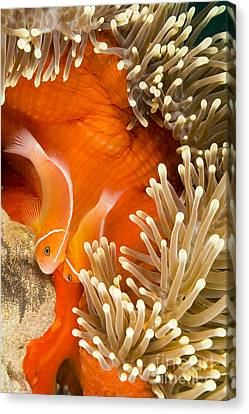 This Common Anemonefish  Amphiprion Canvas Print by Dave Fleetham