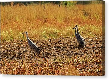 Phalacrocorax Auritus Canvas Print - Three Amigos  by Robert Bales