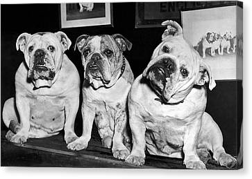 Three English Bulldogs Canvas Print by Underwood Archives