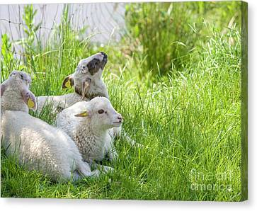 Canvas Print featuring the photograph Three Little Lambs by Patricia Hofmeester