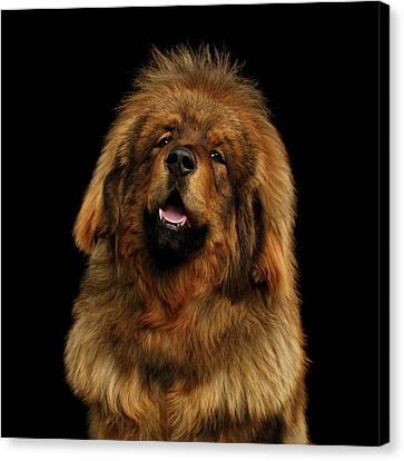 Tibetan Canvas Print - Tibetan Mastiff by Sergey Taran