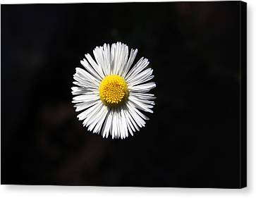 Tidy Fleabane Canvas Print by Charles Ables