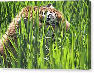 Tiger Canvas Print by Naman Imagery