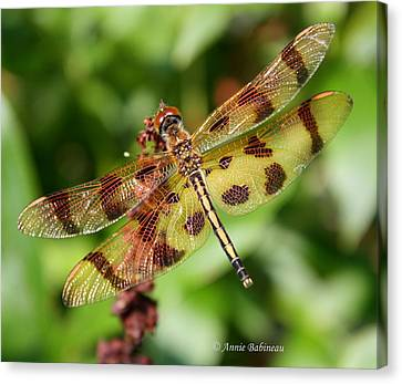 Tiger-striped Dragonfly Canvas Print by Anne Babineau