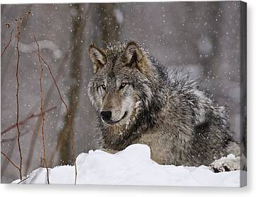 Wolf Pics Canvas Print - Timber Wolf In Winter by Michael Cummings