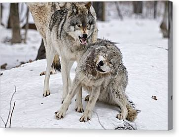 Timber Wolves In Winter Canvas Print by Michael Cummings