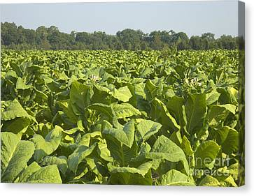 Nicotiana Tabacum Canvas Print - Tobacco Field by Inga Spence