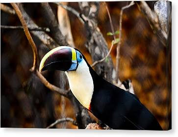 Toucan Canvas Print by Daniel Precht
