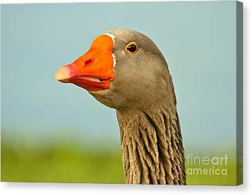 Toulouse Goose Close Up Canvas Print by Adam Jewell