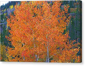 Translucent Aspen Orange Canvas Print