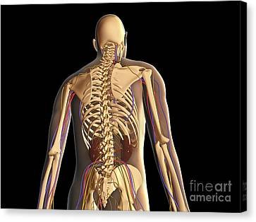 Transparent View Of Human Body Showing Canvas Print