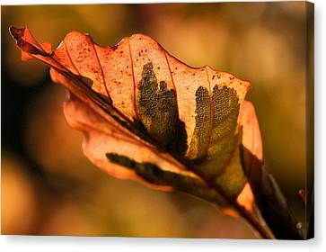 Canvas Print featuring the photograph Tri-color Beech In Autumn by Angela Rath