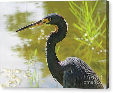 Tricolored Heron By The Pond Canvas Print