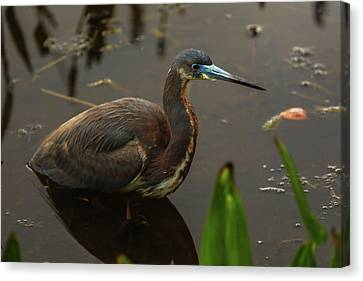 Tricolored Heron Canvas Print by Juergen Roth