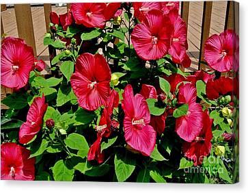 Tropical Red Hibiscus Bush Canvas Print by Marsha Heiken