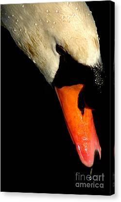 Trumpet Swan Canvas Print