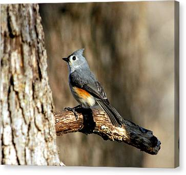 Tufted Titmouse On Branch Canvas Print