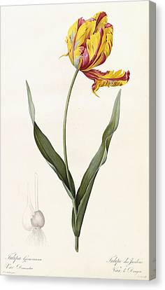 Tulip Canvas Print by Pierre Joseph Redoute