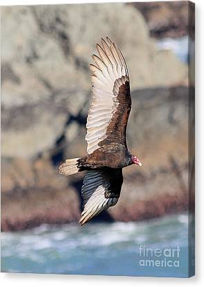 Bif Canvas Print - Turkey Vulture In Flight by Wingsdomain Art and Photography