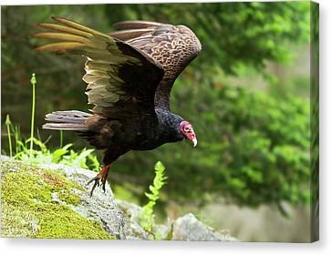 Canvas Print featuring the photograph Turkey Vulture by Mircea Costina Photography