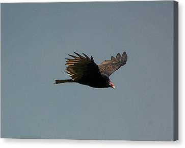 Turkey Vulture Canvas Print by Paul Gavin