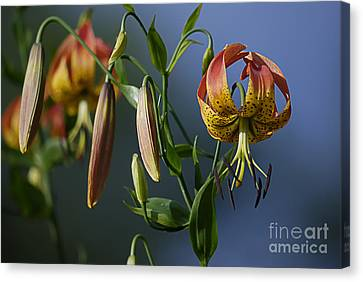 Turk's Cap Lily Canvas Print by Randy Bodkins