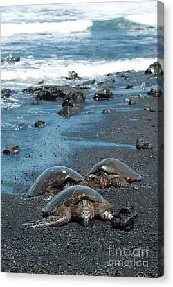 Turtles On Black Sand Beach Canvas Print