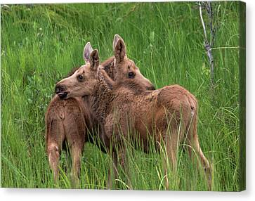 Twin Baby Moose Canvas Print