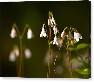 Twinflower Canvas Print by Jouko Lehto