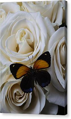 Two Tone Butterfly Canvas Print by Garry Gay