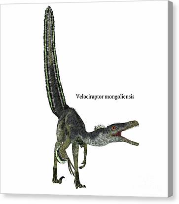 Velociraptor Dinosaur On White Canvas Print