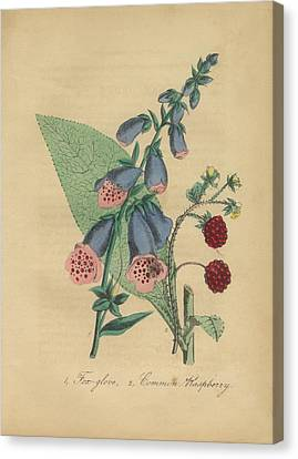 Victorian Botanical Illustration Of Foxglove And Common Raspberry Canvas Print by Peacock Graphics