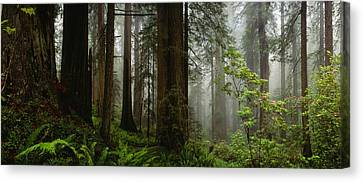 Vine Maple Acer Circinatum Trees Canvas Print by Panoramic Images