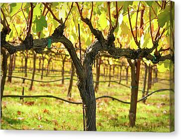 Vineyard Canvas Print by Brandon Bourdages