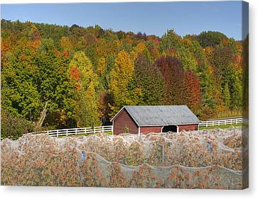 Vineyard In Autumn  Knowlton, Quebec Canvas Print
