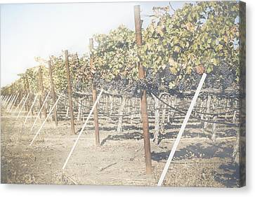 Vineyard In Autumn With Vintage Instagram Style Filter Canvas Print