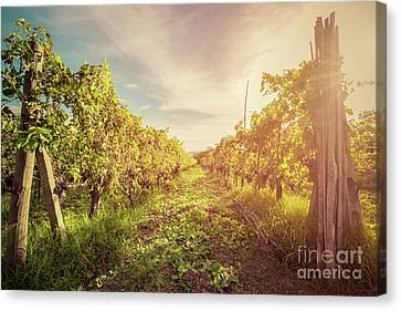 Vineyard In Tuscany, Italy. Wine Farm At Sunset. Vintage Canvas Print by Michal Bednarek