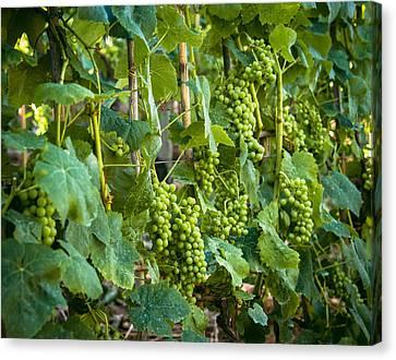 Vineyard Canvas Print by Jen Morrison