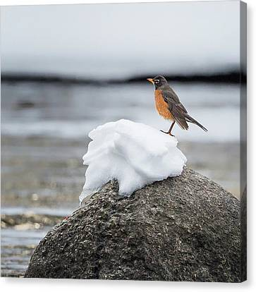 American Robin Canvas Print - Waiting For Spring Square by Bill Wakeley