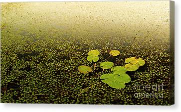 Water Lily Pads Canvas Print by Tim Hester