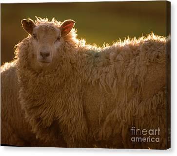 Welsh Lamb In Sunny Sauce Canvas Print by Angel  Tarantella