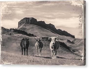 Western Longhorns Canvas Print