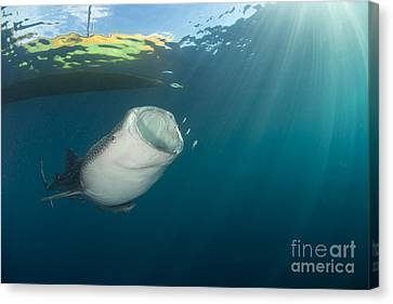 Whale Shark Coming Up From The Depths Canvas Print by Mathieu Meur