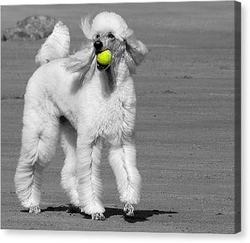 Pedicured Pup Hits The Beach Canvas Print