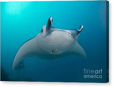 White-bellied Giant Oceanic Manta Ray Canvas Print