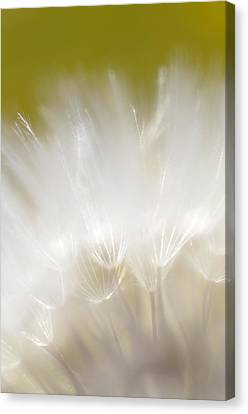 White Blossom 1 Canvas Print