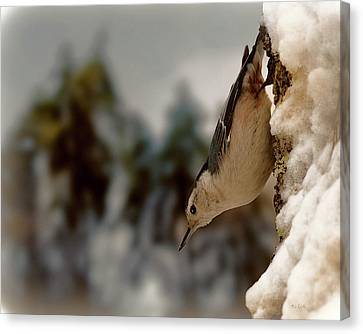 White Breasted Nuthatch In The Snow Canvas Print by Bob Orsillo
