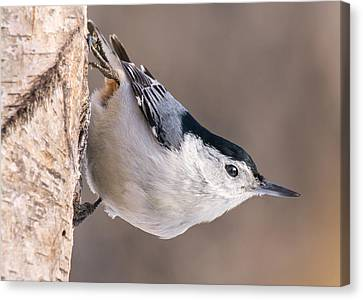 Agility Canvas Print - White-breasted Nuthatch by Jim Hughes