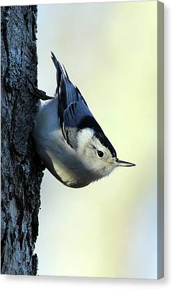 White Breasted Nuthatch Wading River New York Canvas Print by Bob Savage